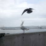 Crow pestering a seagull